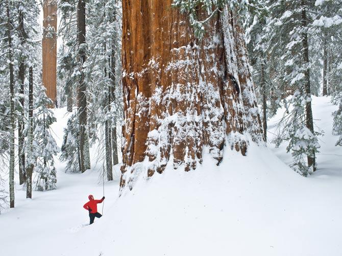 Escalando a segunda maior árvore